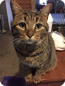 Domestic Shorthair Cat for adoption in Morganton, North Carolina - Shania