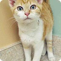 Domestic Shorthair Kitten for adoption in Hinsdale, Illinois - Sunshine