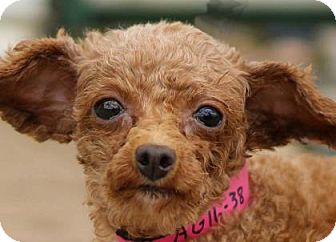 Toy Poodle Dog for adoption in Colorado Springs, Colorado - Ursa