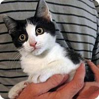 Adopt A Pet :: Wee Francis: Adorable Tuxedo Kitten - Brooklyn, NY