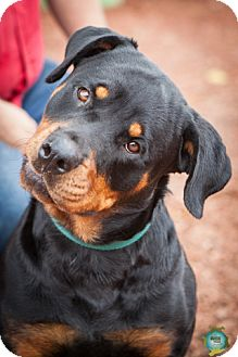 Rottweiler Mix Dog for adoption in Windsor, California - Bunny