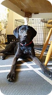 Labrador Retriever Mix Dog for adoption in Dayton, Ohio - Haze
