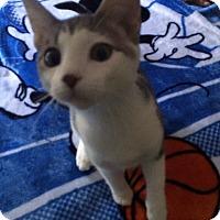 Domestic Shorthair Kitten for adoption in Monroe, North Carolina - Piper