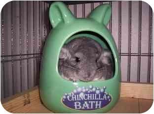 Chinchilla for adoption in Avondale, Louisiana - Penelope