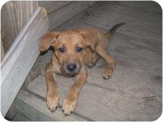 Rhodesian Ridgeback/Boxer pups   Adopted Puppy   Wauseon ...