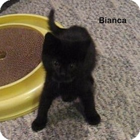 Domestic Shorthair Kitten for adoption in Portland, Oregon - Bianca