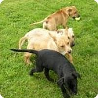 Adopt A Pet :: 5 Lab/Shep Pups - Seattle, WA