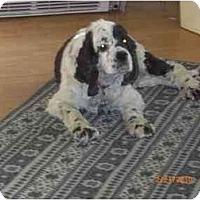 Adopt A Pet :: Domino - Tacoma, WA