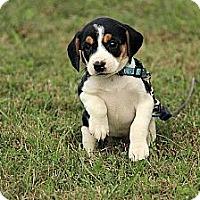 Adopt A Pet :: Gretchen - Staunton, VA