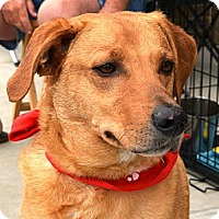 Labrador Retriever/Australian Shepherd Mix Dog for adoption in Tunica, Mississippi - HIGHWAY
