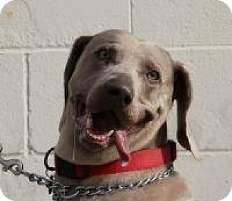 Weimaraner Dog for adoption in Sun Valley, California - Stoney