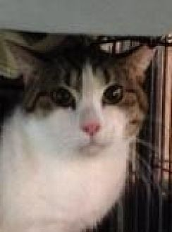 Domestic Shorthair Cat for adoption in Porter, Texas - Mario