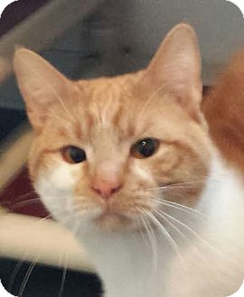Domestic Shorthair Cat for adoption in Colfax, Iowa - Toby