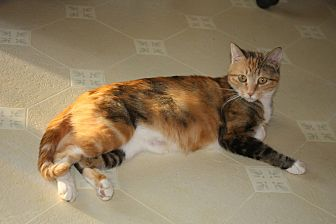 Domestic Shorthair Cat for adoption in Rawlins, Wyoming - Nacho