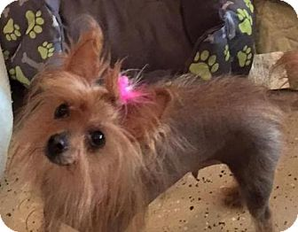 Chinese Crested/Yorkie, Yorkshire Terrier Mix Dog for adoption in Egg Harbor City, New Jersey - Donatella