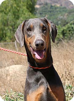 Doberman Pinscher Dog for adoption in Fillmore, California - Shady