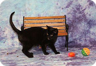 Domestic Shorthair Kitten for adoption in Stockton, California - Midnite