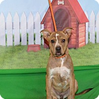 Boxer Mix Puppy for adoption in Salem, Massachusetts - Buffy (URGENT)