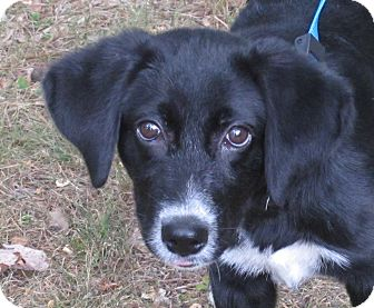 Labrador Retriever/Border Collie Mix Puppy for adoption in Hagerstown, Maryland - Palmer