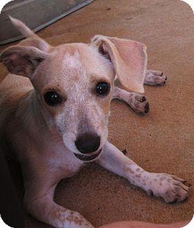 Chihuahua/Dachshund Mix Puppy for adoption in Oswego, New York - PIXIE
