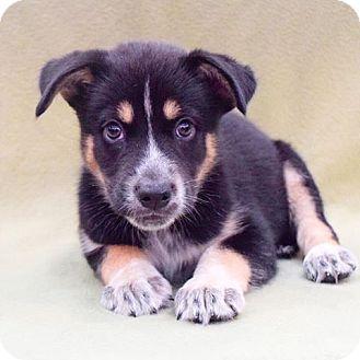 Husky/Shepherd (Unknown Type) Mix Puppy for adoption in Sacramento, California - Dwayne