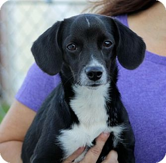 Beagle/Dachshund Mix Dog for adoption in Liberty Center, Ohio - Tutu