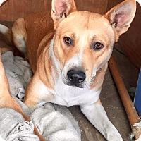 German Shepherd Dog/Labrador Retriever Mix Dog for adoption in Santa Ana, California - Calvin