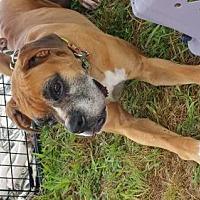 Adopt A Pet :: Boz - Chatham, VA