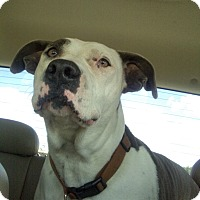 American Staffordshire Terrier Mix Dog for adoption in Lehigh, Florida - Laci