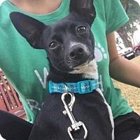Adopt A Pet :: Trixie - Boca Raton, FL