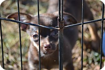 Chihuahua/Spaniel (Unknown Type) Mix Puppy for adoption in Wilminton, Delaware - Snickers