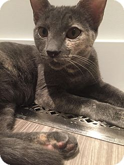 Domestic Shorthair Kitten for adoption in Edmonton, Alberta - Aurora
