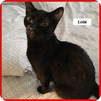 Domestic Shorthair Cat for adoption in Miami, Florida - Lola