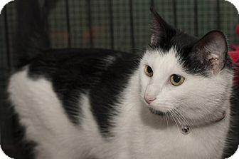 Domestic Shorthair Cat for adoption in Lombard, Illinois - Noel