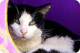 Domestic Shorthair Cat for adoption in Tucson, Arizona - Sephora