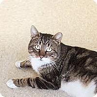 Adopt A Pet :: Apache - Island Park, NY
