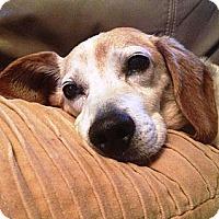 Adopt A Pet :: Scooby - Novi, MI