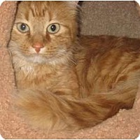 Adopt A Pet :: Cheeto - Dallas, TX