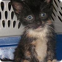 Adopt A Pet :: Callie - Dallas, TX