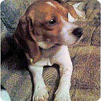 Adopt A Pet :: Tinsel - Novi, MI