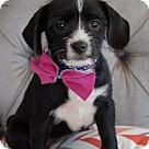 Adopt A Pet :: Rose