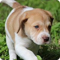 Adopt A Pet :: Drizzle - Austin, TX