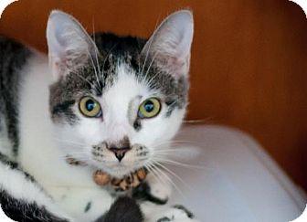 Domestic Shorthair Kitten for adoption in Santa Rosa, California - Marvelina