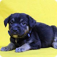 Adopt A Pet :: Hanna - Westminster, CO