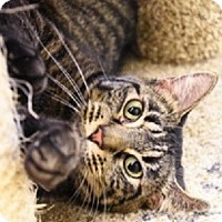 Adopt A Pet :: Lizzie-TABBY SWEETIE - Naperville, IL