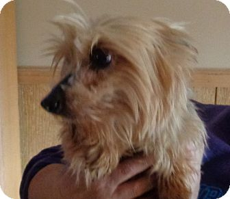 Yorkie, Yorkshire Terrier Dog for adoption in Crump, Tennessee - Brandie