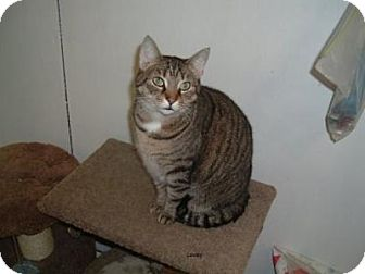 Domestic Shorthair Cat for adoption in Avon, Ohio - Lovey