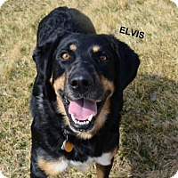 Adopt A Pet :: Elvis - Independence, MO