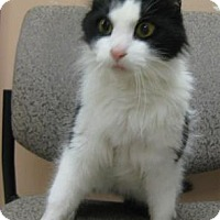Domestic Mediumhair Cat for adoption in Gary, Indiana - Terrance