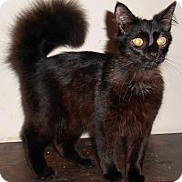 Adopt A Pet :: Darius - Chattanooga, TN